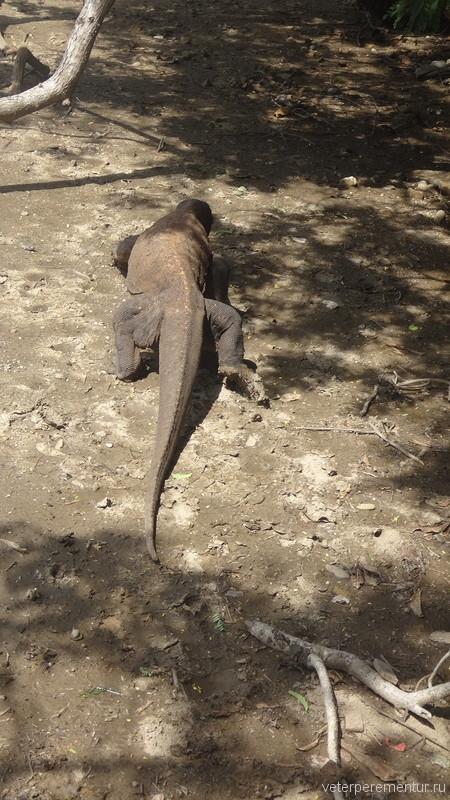Драконы острова Комодо
