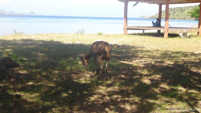 Олени на острове Комодо
