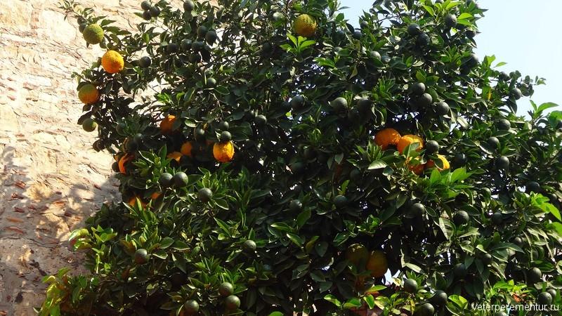 апельсиновое дерево с плодами, Турция