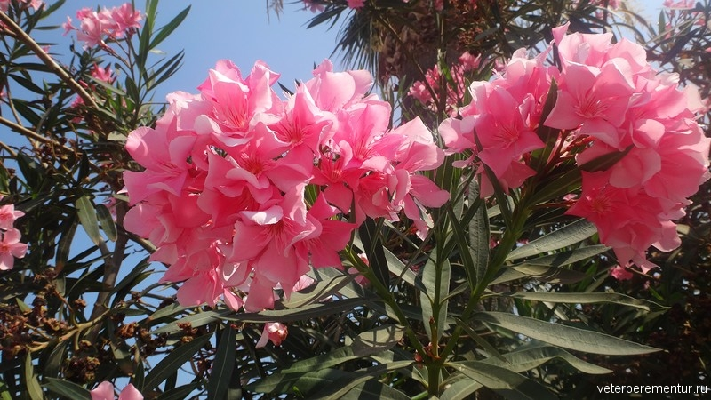 Kusadasi (Кушадасы), цветущие деревья