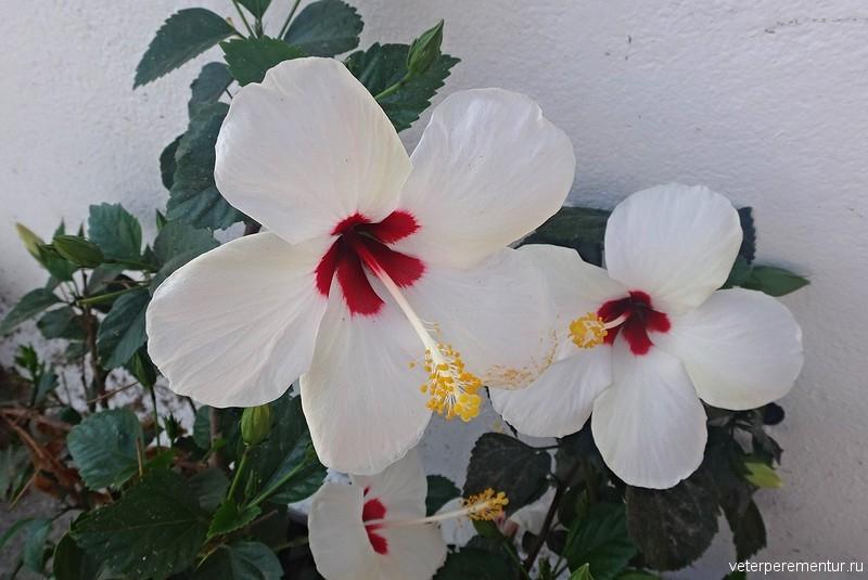 Цветы, Санторини