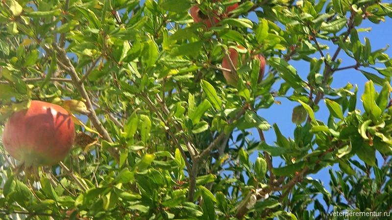 Санторини, гранатовое дерево