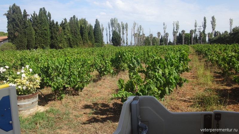 виноградники в Греции