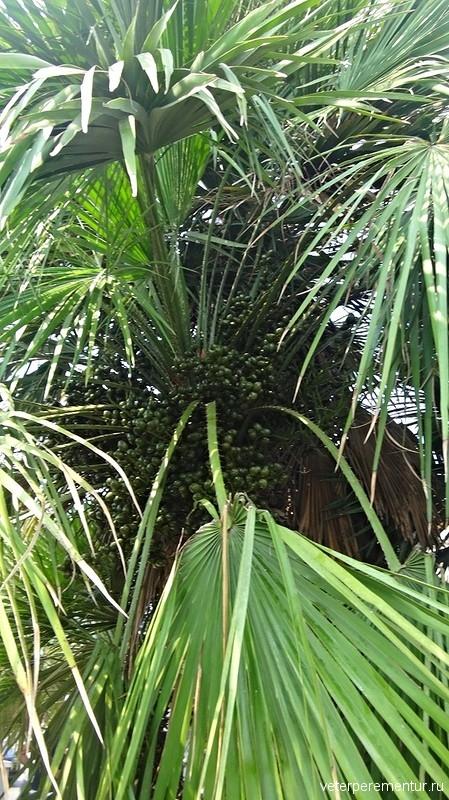 Пальмы в Салерно