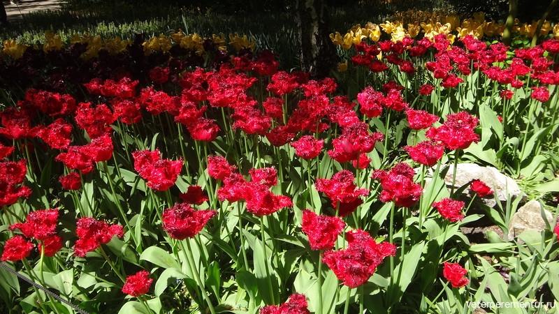 Тюльпаны в парке Кейкенхоф (Keukenhof)