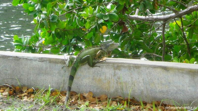 Игуана в Форте Лодердейл