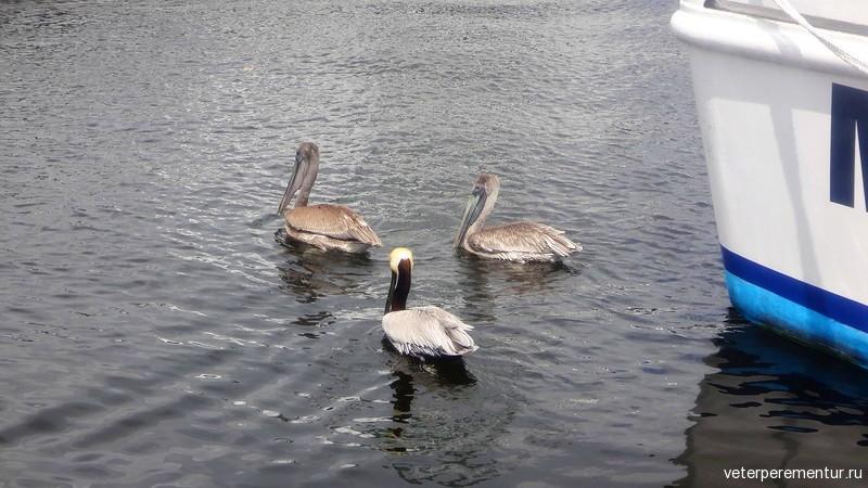 Форт Лодердейл, пеликаны