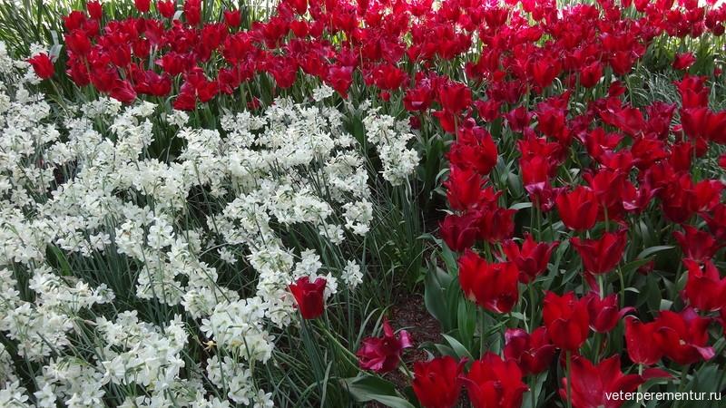 Парк цветов Keukenhof, тюльпаны и нарциссы