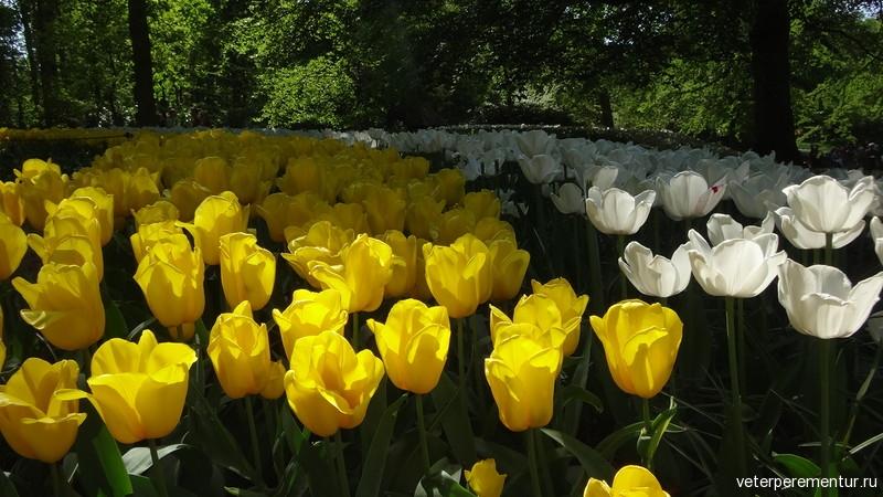 Парк цветов Keukenhof, желтые и белые тюльпаны