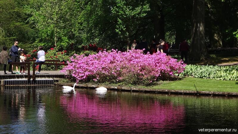 Азалии отражаются в озере