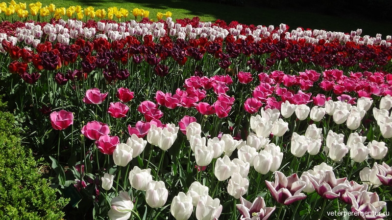 Парк цветов Keukenhof, тюльпаны