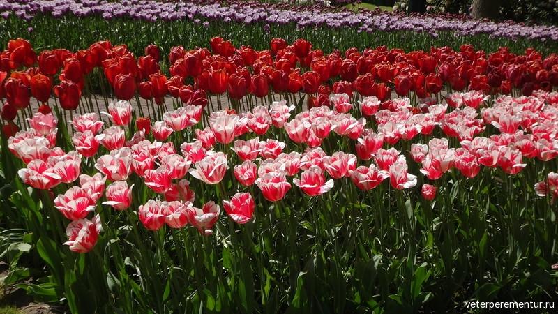 Парк цветов Keukenhof, тюльпа