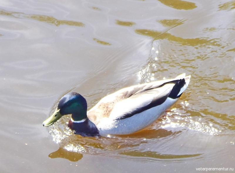 Селезень в озере