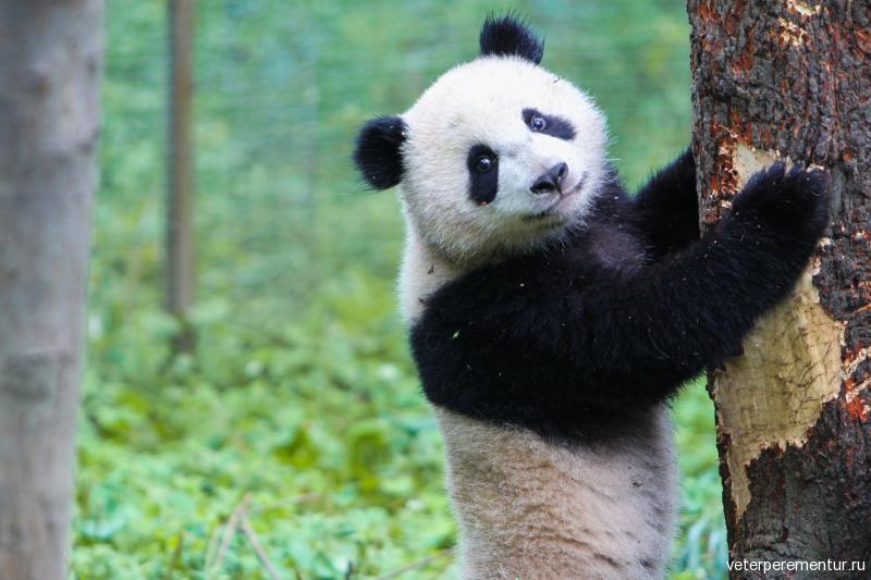 panda-bear-china