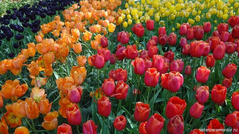 Тюльпаны в Голландии