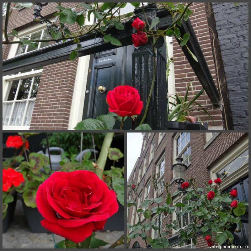 Розы в Амстердаме