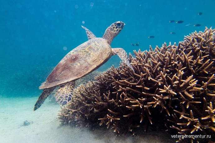 turtle-on-the-fringing-reef-of-great-keppel-island-691x459