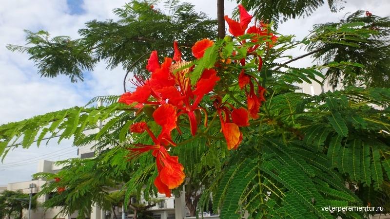 Тюльпановое дерево, Наха, Окинава
