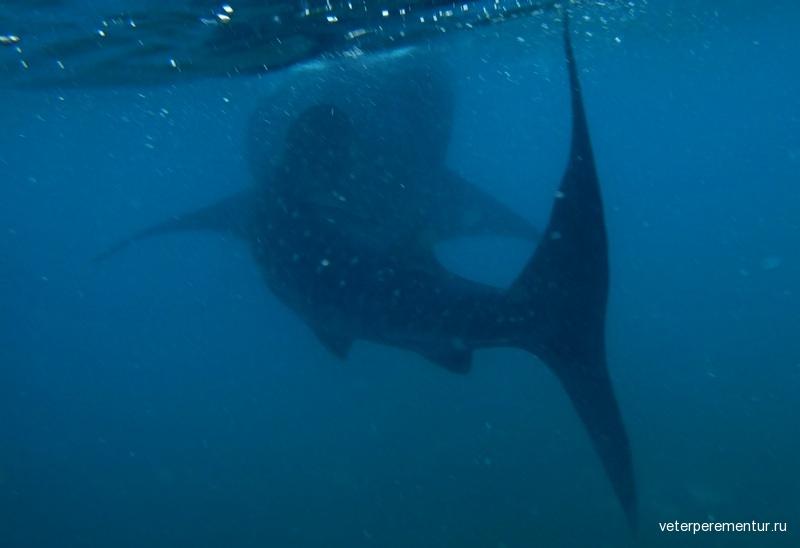 Китовая акула, Ослоб, Филиппины