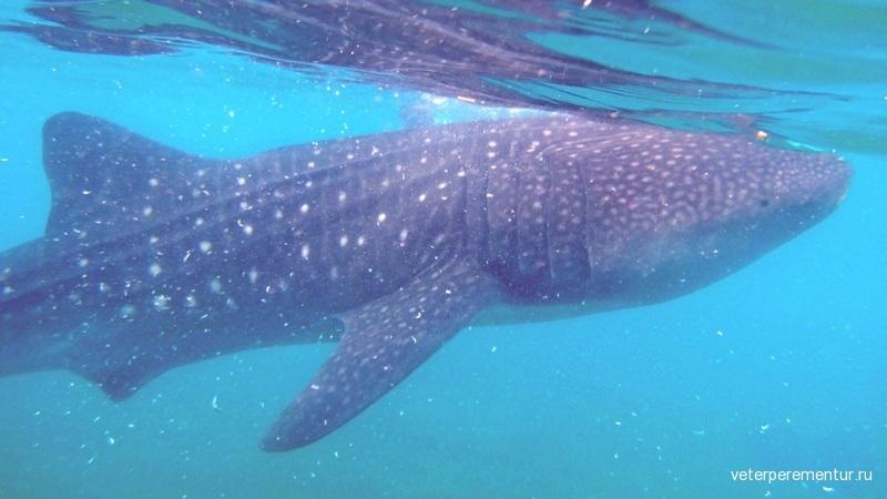 Плаванье с китовой акулой, Филиппины
