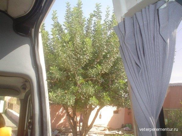 Марокко, аргановое дерево